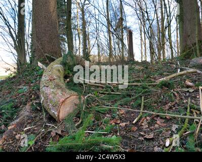 Deforested trees lie on the leafy forest floor. - Stock Photo
