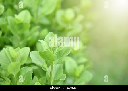 Pluchea indica or 'Khlu' leaves (Indian camphorweed, Indian pluchea, Baccharis indica L,luntas, beluntas). Thai vegetables and herbs, Plants with medi Stock Photo
