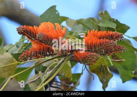 Erythrina poeppigiana (Coral tree, Mountain immortelle), Boquete, Chiriqui, Panama - Stock Photo