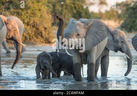 A female elephant and her baby standing in a river amongst an elephant herd in Savuti Botswana - Stock Photo
