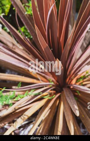 Cordyline is a genus of about 15 species of tropical woody monocotyledonous flowering plants - Stock Photo