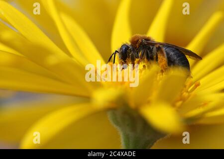 A Bumblebee collecting nectar on a yellow daisy with pollen all over it's body. Taken during summer in Norway. - Stock Photo