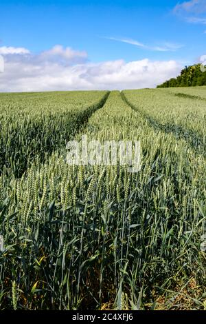 Ripening crop of wheat growing in a field, early Summer, Britain.