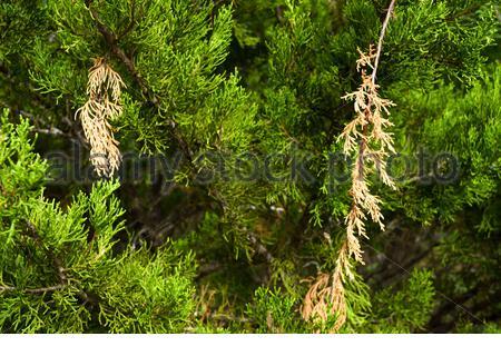 Dead Cedar Branches. Cedar damage. Dead Cedar Twigs. Brown twigs. Broken twigs. Dead broken brown twigs on cedar tree. Mountain Cedar Texas USA. - Stock Photo