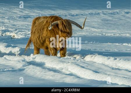 Two highland cows standing in the middle of a snow covered field in the Highlands of Scotland during a winter sunset - Stock Photo
