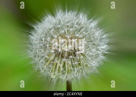 A wild dandelion head turning to seed and getting ready to disperse in rural Alberta Canada. - Stock Photo