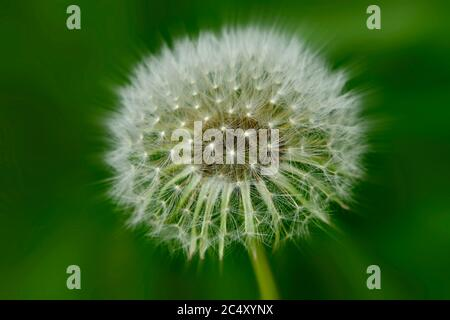A wild dandylion head on a green background, turning to seed and getting ready to disperse in rural Alberta Canada. - Stock Photo