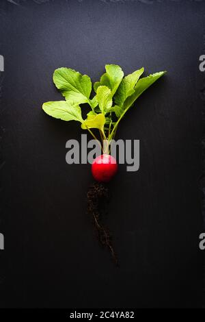 Top view of a red radish with roots and bright green leaves on a black slate plate. Concept of healthy, organic nutrition with fresh vegetables. Dark