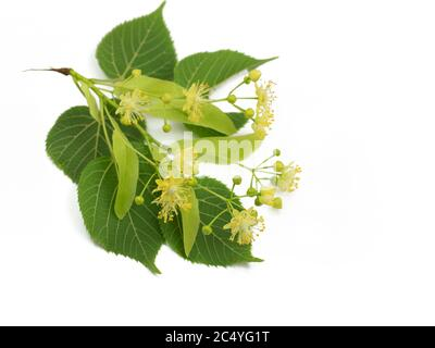 Linden flowers and leaves isolated against white background - Stock Photo