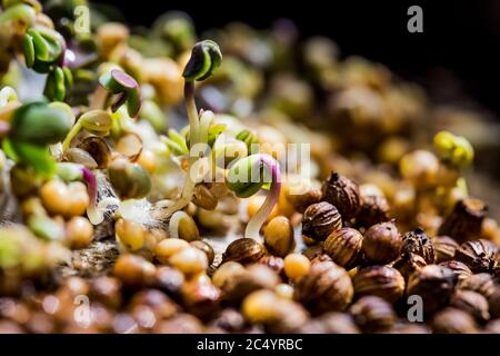 Close-up of mustard microgreens. Growing mustard sprouts close up view. Germination of seeds at home. Vegan and healthy eating concept. Sprouted seeds