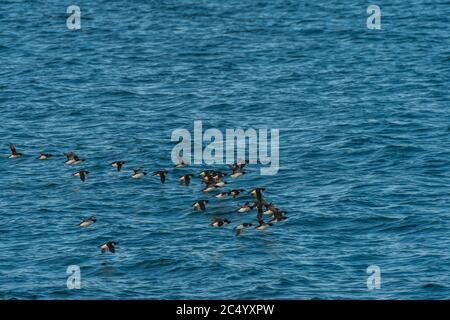 A flock of Thick-billed murres or Brunnich's guillemot (Uria lomvia) flying over the Arctic Ocean near Alkefjellet, which one of the largest bird clif - Stock Photo