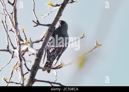 Starling sits on a tree branch in spring