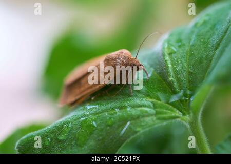 Owlet moth (noctua comes) on the leaf of a geranium after a rain - Stock Photo