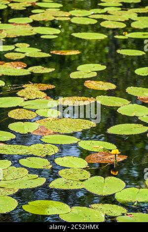 Lake with blooming yellow water lilies