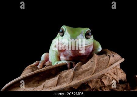 Australian Tree frog sitting on a leaf, Indonesia