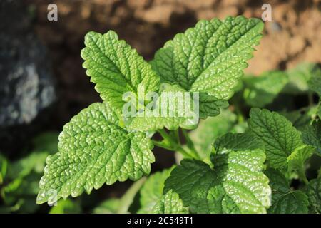 Green healthy leafs of the medicinal plant lemon balm growing in the garden and the blurred background of the rest of the photo - Stock Photo