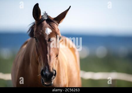 A brown horse looking straight ahead with the ocean, blue sky and trees in the background. The animal has a white patch on its forehead. - Stock Photo