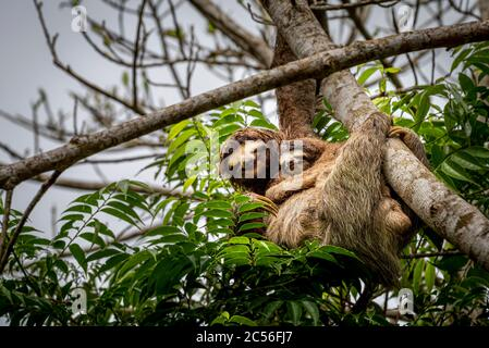 3 toed sloth with baby climbing up a tree image taken in the rain forest of Panama