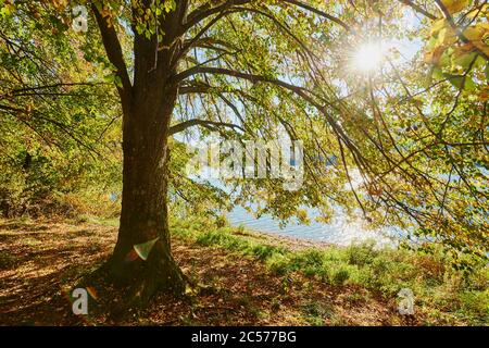 Basswood (Tilia) with autumn colors and sun star, specimen tree on a lake, Franconia, Bayern, Germany - Stock Photo