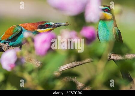 courtship of birds of paradise among beautiful flowers