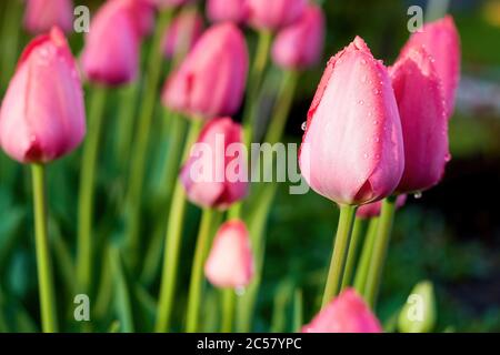 Wet tender pink tulips in the garden after the rain. Flowers in the backyard. Nature backgrounds - Stock Photo