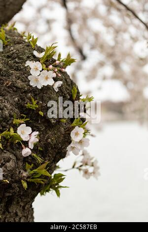 Close up view of Japanese cherry tree beside the tidal basin in Washington, DC with soft pink blossoms in full bloom. Beautiful trees draw tourists to - Stock Photo