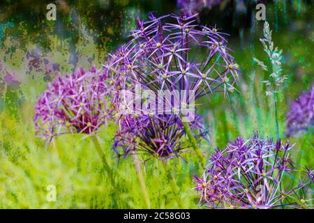 A group of Allium flowers in full flower - Stock Photo