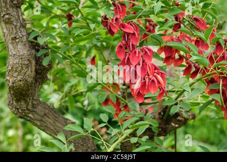 Flowering Cockspur Coral tree - Erythrina crista-galli - Cry-baby-tree - Stock Photo
