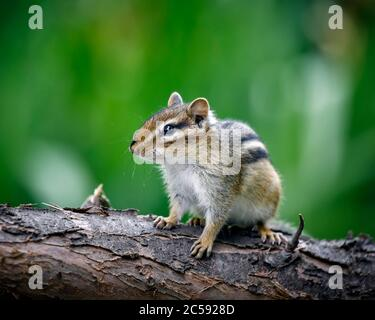 Eastern Chipmunk, Tamias striatus, Manitoba, Canada. - Stock Photo