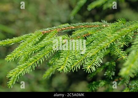 Spruce branches in a close-up - Stock Photo
