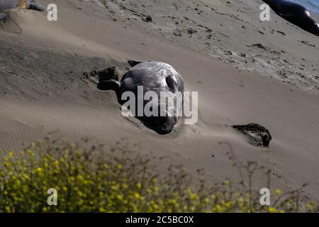 Elephant Seals lolling on the beach at San Simeon, California. - Stock Photo