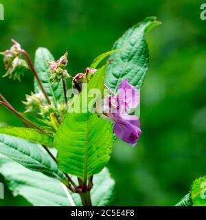 Himalayan Balsam (Impatiens glandulifera), Warwickshire, UK Stock Photo