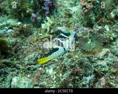 Valentin's sharpnose puffer, Canthigaster valentini, also known as the saddled puffer or black saddled toby at a tropical coral reef in Malapascua, Philippines. Healthy tropical reef