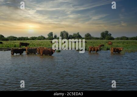 Europe Netherlands Tour through the canal, Beef stand in the canal and cool down, while Sunset