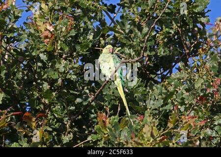 Rose-ringed (aka Ring-necked) parakeet (Psittacula krameri) high in oak tree, Bushy Park, Hampton Court, Greater London, England, UK, Europe - Stock Photo