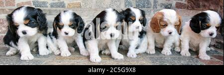 Wolfshain Bei Leipzig, Germany. 23rd June, 2020. The about 6 weeks old Cavalier King Charles Spaniel Felek, Mogli, Felix, Fitz, Fedik and Fay (l-r) are lined up at the entrance of their breeder Dagmar Döbel. The puppies from the kennel 'Vom grauen Granit' are already expected by their future mistresses and masters. The recognized English dog breed owes its name to the royal houses of England and was especially popular there in the 16th century. Credit: Waltraud Grubitzsch/dpa-Zentralbild/ZB/dpa/Alamy Live News - Stock Photo