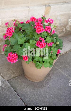 A pink Horseshoe Geranium growing in a ceramic pot also known as a Zonal Pelargonium - Stock Photo