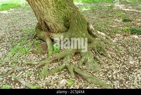 Tree trunk with green moss on the trunk and roots exposed with brown leaves scattered on the ground in winter day in Japan. - Stock Photo