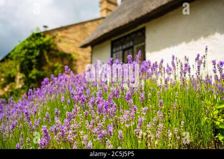 Shallow focus view of beautiful lavender plants seen growing in a front garden of an old, English cottage. - Stock Photo