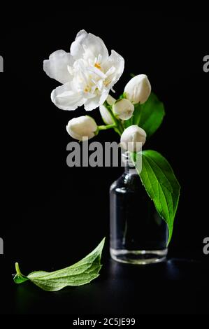 still life, jasmine flower in a glass bottle on a black background - Stock Photo