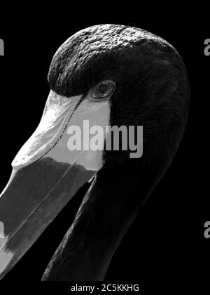 Black and white portrait of a Saddle-billed stork / Saddlebill (Ephippiorhynchus senegalensis) with black background, full head, lateral, profile - Stock Photo