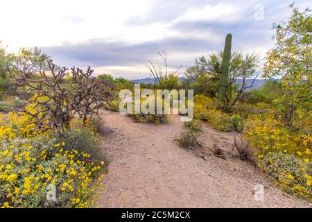 Wildflower Desert Landscape. Wildflowers and cactus in the desert wilderness of Saguaro National Park outside of Tucson, Arizona. - Stock Photo