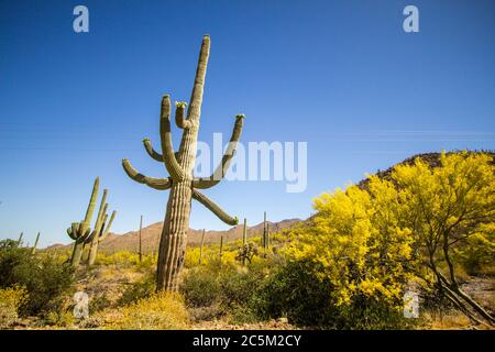 Saguaro Cactus in bloom. Large Saguaro cactus with wildflowers at Saguaro National Park in Tucson Arizona. - Stock Photo