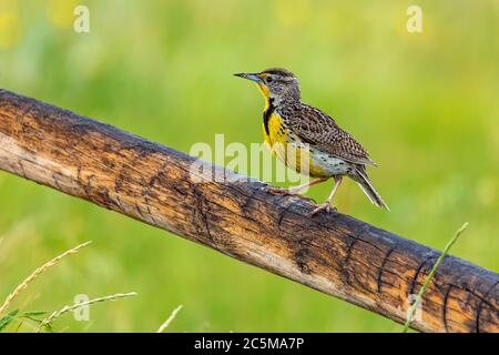 Adult Western meadowlark( Sturnella neglecta) perched on fence rail - Stock Photo