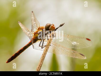 A Common Darter resting on a broken reed stem - Stock Photo
