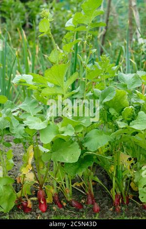 Raphanus sativus 'French Breakfast'. Radish plants gone to seed, or bolted, in an English potager garden. Stock Photo