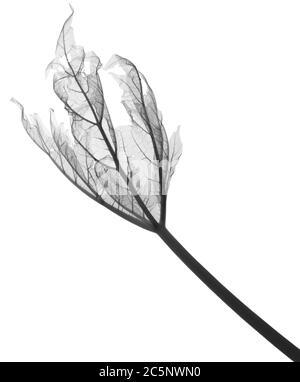 Rhubarb leaf (Rheum sp.) , X-ray. - Stock Photo