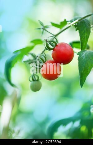 Hydroponic tomato gardening.  Tomato hydroponic plants in greenhouse. Tomatoes on plants in hydroponics greenhouse farm. Tomatoes in greenhouse - Stock Photo