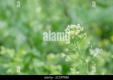 Small white flowers of Shepherds Purse / Capsella bursa-pastoris. Seed pods forming at bottom of flower head. Once used medicinally. Also edible - Stock Photo