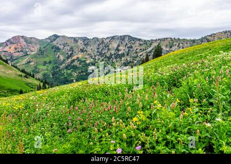 Albion Basin, Utah summer 2019 with meadows trail in wildflowers season in Wasatch mountains and many different flowers - Stock Photo